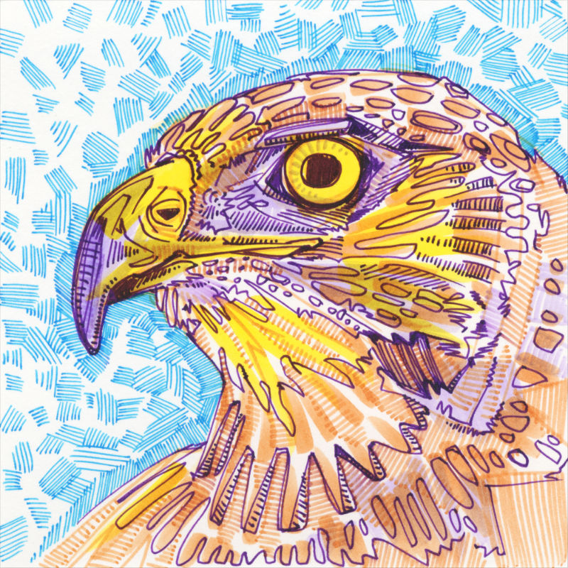 hawk drawing